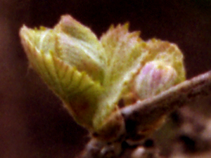 Photo of Pinot Noir at bud break taken on 4/8/07 in my backyard - closeup of a single bud