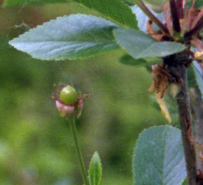 Surefire cherry fruiting on 5/30/07. The young cherry is green with some dried flower petals still visible.