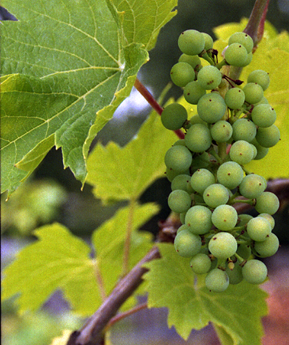 Leon Millot Grape Cluster