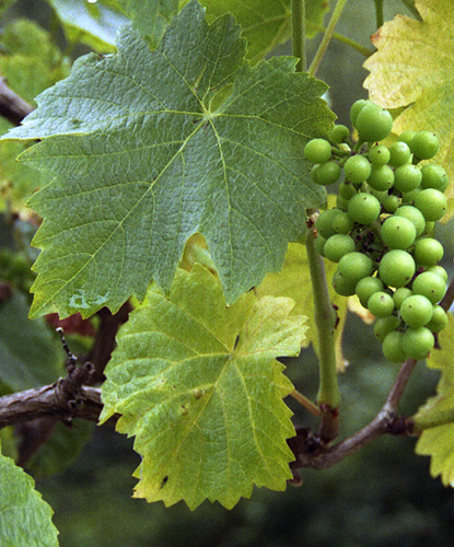 Pinot Noir Grape Cluster