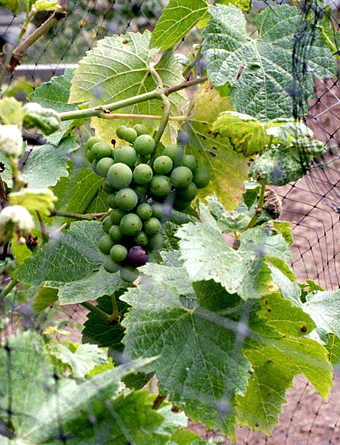 A single dark grape in a cluster of green ones heralds veraison.