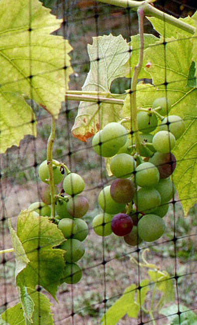 A few grapes, in two small loose clusters of green grapes, are turning red.