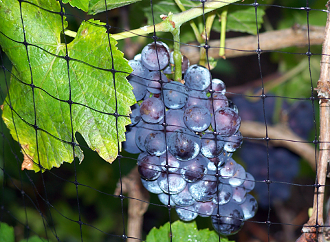 Pinot Noir cluster on 9/19/07. Black bird netting is clearly visible in front of the grapes.
