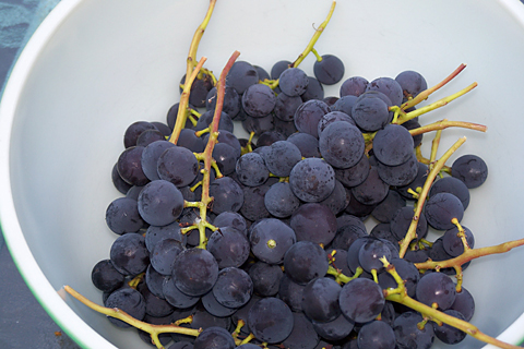 Dark purple grapes, still on stems, set inside a bowl.