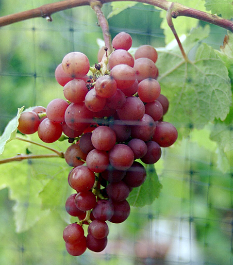 A nearly ripe cluster of Siegerrebe grapes has turned to a vibrant shade of pink-red.