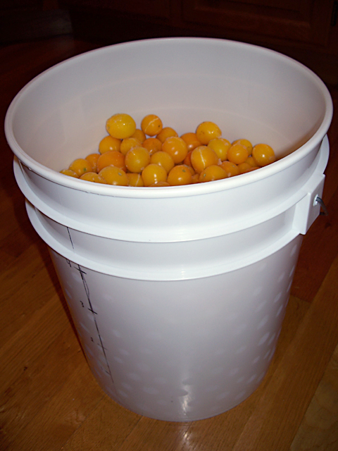 Four gallons (15 liters) of frozen Gold Nugget tomatoes